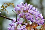 紫藤花图片_9张