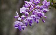 紫藤花卉图片_10张