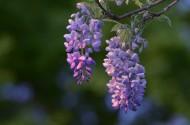 紫藤花图片_8张