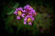 紫薇花圖片 _11張