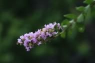紫薇花图片_6张