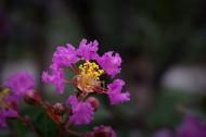 紫薇圖片_10張