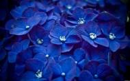 紫阳花图片_10张
