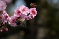 紫叶桃图片_12张