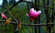 紫玉兰花图片_18张