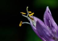 梦幻紫玉簪花卉图片_14张