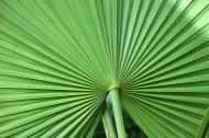 棕櫚樹葉子圖片_10張