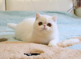 一组超心爱的纯白色小猫猫图片观赏