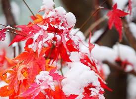 一组雪染枫叶红 美景图片欣赏