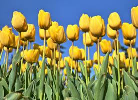 一组金黄色的郁金香图片欣赏