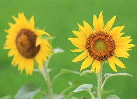 向阳而开的花,开起来就像阳光般灿烂,颜色里已经充满阳光的味道