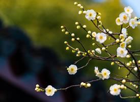 寒凝大地,它顽强地开出一朵朵美丽的花 有的白里透红,有的洁白典雅