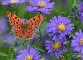 一组美丽的斑点木蝶图片观赏