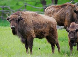 一组毛毛比较长的健壮的野牛图片