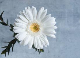 一組簡單唯美的白色的非洲菊高清圖片