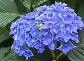 绣球花的花蕾绽开时,四五个花瓣便组成一朵小花