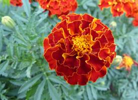 万寿菊开花时,半球形的花朵金灿灿、黄橙橙的