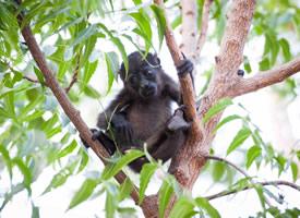 大眼睛可愛的小猴子爬樹圖片欣賞