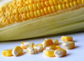 玉米粒颗颗饱满 就像黄宝石一样晶莹剔透