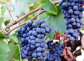 挂在树枝上新鲜的葡萄图片欣赏