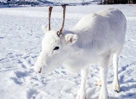 跟地上雪一样白的白色驯鹿图片
