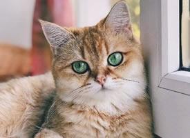 这只大年夜猫咪的眼睛好漂亮图片观赏