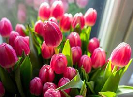 一组含苞待放的郁金香图片欣赏