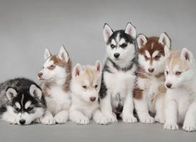 可爱软萌,慵懒温顺的哈士奇小狗狗图片