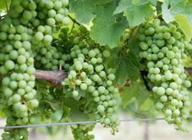 一组晶莹剔透的绿葡萄图片欣赏
