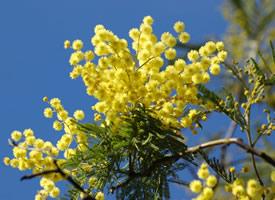 一組含羞草開出燦爛美麗的黃色花花圖片