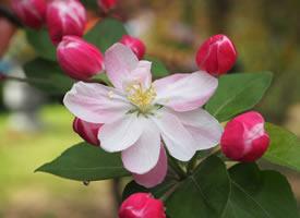五彩繽紛、燦爛絢麗的海棠花圖片欣賞
