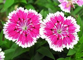 石竹花代表大胆、女性美和纯洁的爱,是母爱的象征,对母亲思念的寄托