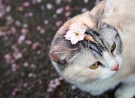 一组樱花下的心爱小猫咪图片观赏