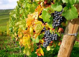 晶莹透明、又大又圆、绚丽多彩、圆润可爱的葡萄