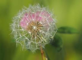 一颗种子,一阵微风,就能营造一片蒲公英的灿烂