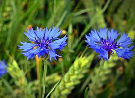 矢车菊 ,象征幸福的矢车菊的故乡在欧洲