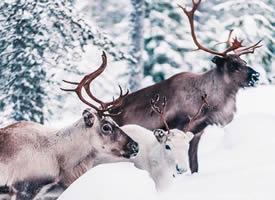 菱角高高的麋鹿在雪中行走的模样