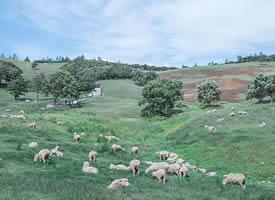 春天里小羊吃青草的图片欣赏