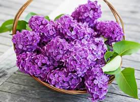 这么多的紫丁香花,一朵有一朵的姿势,看起来像一幅很美的画