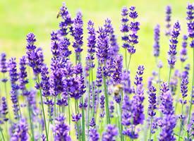 薰衣草外面露着轻盈的翅膀般暖紫花瓣