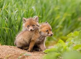 一组超级可爱的狐狸幼崽图片欣赏