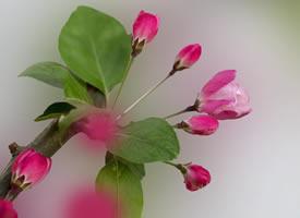 海棠花溫暖人心,樸素大方如一杯清茶,總能滋潤人心