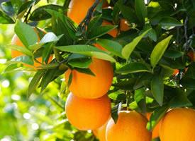 橙子散發出的是一種沁人心脾的清香