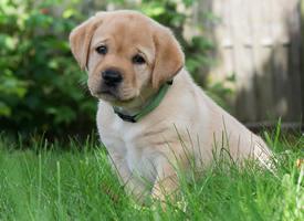 一组超等心爱的金毛寻回犬幼犬图片