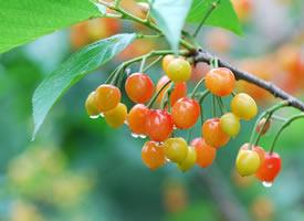 一组雨后诱人的樱桃高清图片欣赏