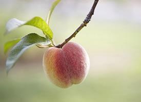 桃子有一种比蜂蜜都要甜的汁水流入满口