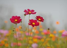 一组清新美丽的波斯菊图片欣赏