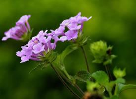四季花大方美丽的紫色五色梅图片欣赏