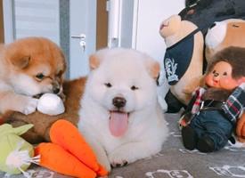 一组超心爱的小奶柴犬图片观赏
