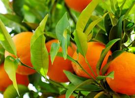 挂在树上像红红的小灯笼的橙子图片欣赏
